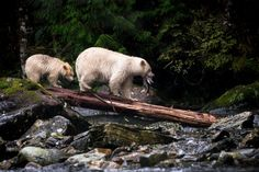 The mother and the cub are Spirit Bears or Kermode bears a sub species of the North American Black Bear living in the Central and North Coast regions of British Colombia, Canada. These bears are rarer than the Panda Bear in the wild. - titled 'Dinner Time'