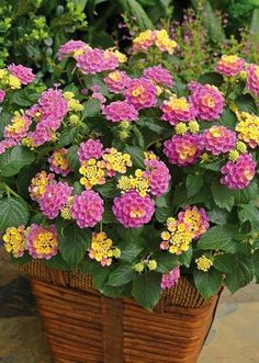Container Gardening Ideas lantana - All plants need water to survive. However, like plants that require more water, there are plants that grow in lack of water. They are the best drought tolerant plants and can live without water for a long time. Outdoor Flowers, Outdoor Plants, Potted Plants Patio, Outdoor Flower Planters, Backyard Planters, All Plants, Garden Plants, Balcony Garden, Plants That Like Sun