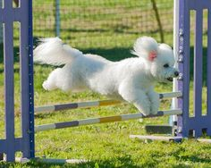 Bichon Frise Club of San Diego