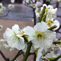 櫛田神社の白梅