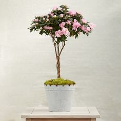 """A stylish version of our favorite garden shrub, this blooming azalea has been trained into a tall, braided topiary. Each plant arrives ready for display or gifting in a scalloped pot topped with moss.- Braided azalea topiary, tin pot, clump moss, soil- Keep indoors with bright, indirect sunlight and cool temperatures (65-80 degrees F)- Water when first 1/2 inch of soil becomes dry- USATotal: 30""""H, 18"""" diameter Pot: 7.5""""H, 8.5"""" diameterOnline ExclusivePlease note: Due to the nature of plant…"""