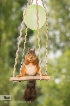 swinging feet - Pinned by Mak Khalaf female red squirrel standing on a swing with balloon Animals balloonanimalbrightclose upcutefunnygroundhappylightmammalnatureplantredrodentspringsquirrelsummerswing by geertweggen