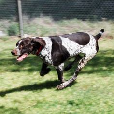 Looking for a running buddy?  Well Bo Diddley might just be the dog for you!
