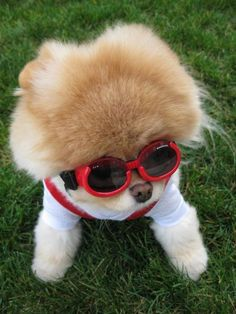 Image detail for -Meet Boo the Cutest Pomeranian Dog ~ Damn Cool Pictures