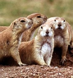 Prairie dogs Kansas wildlife