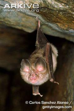 Mediterranean horseshoe bat (Rhinolophus euryale)