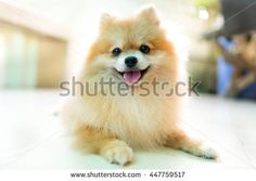 Explore 379 high-quality, royalty-free stock images and photos by pattarawat available for purchase at Shutterstock. Dog Sleeping, Pomeranian, Royalty Free Images, Corgi, Smile, Stock Photos, Orange, Cats, Animals