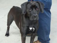 Owensboro, KY. ** HIGH KILL SHELTER ** GABBY came in as a stray.Pet ID: 1305-1366.  She is such a nice dog. She seems to be a boxer mix. This girl is very, very nice! If you are interested in this pet please contact us as soon as possible. We are a high kill shelter.  Daviess County Animal Control: dcacanimals@yahoo.com or call at 270-685-8275. Please Hurry!