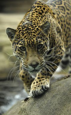 Jaguar /IT'S DIFFICULT DISTINGUISH BETWEEN LEOPARD AND JAGUAR, THE FORM OR STRUCTURE OF THE HEAD.