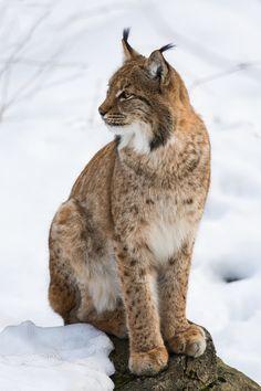 Lynx - null