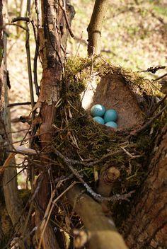 Turdus philomelos eggs