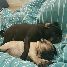 from Shop for Pug Lovers bio Repost by Comment below if You like this Love to tag? from Shop for Pug Lovers bio Repost by Comment below if You like this Love to tag? Pug Pictures, Animal Pictures, Pug Pics, Pug Quotes, Pugs And Kisses, Baby Pugs, Pug Art, Cute Pugs, Pug Love