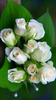 White Rose Flower, Beautiful Rose Flowers, Love Rose, Yellow Roses, Amazing Flowers, Beautiful Gardens, Beautiful Flowers, White Roses Background, White Roses Wallpaper