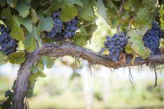 Lush, Ripe Wine Grapes on the Vine. Vineyard with Lush, Ripe Wine Grapes on the , Abide In Christ, Jesus Christ, Vine And Branches, Grape Vineyard, True Vine, Calendar Wallpaper, Desktop Calendar, Christian Wallpaper, Fruit Of The Spirit