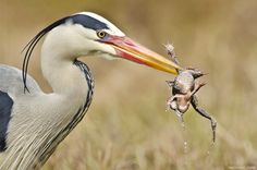 Great Blue Heron with a frog meal.