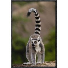 """East Urban Home 'Ring-Tailed Lemur' Framed Photographic Print on Canvas Size: 18"""" H x 12"""" W x 1.5"""" D"""