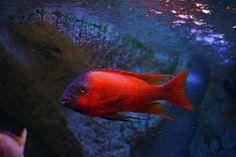 Petrochromis sp. red Bulu Point mascul ciclide africane Lacul Tanganyika Tropical Aquarium, Tropical Fish, Aquarium Fish, Malawi Cichlids, African Cichlids, Victoria Lake, Cichlid Fish, Lake Tanganyika, Fish Breeding