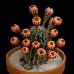 Penna e Calamaio • fencehopping: Cactus blooming.