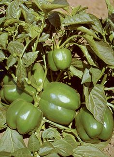 Sweet Pepper Bell Boy Hybrid 1967 AAS National Winner is an all purpose thick walled fine quality early bell pepper.