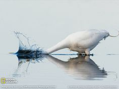 Great White Egret Photo, Florida Wallpaper - National Geographic Photo of the Day National Geographic Photography, National Geographic Photos, Fishing Photography, Animal Photography, Eagles, Polo Norte, White Egret, Reflection Photography, Portrait Photography