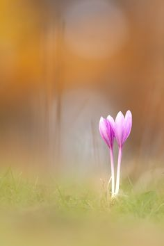 Colchicum autumnale par Georg Essl on 500px