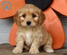 Paws | Cavachon Puppy For Sale | Keystone Puppies Cavachon Puppies, Design Development, Puppies For Sale, Best Friends, Dogs, Animals, Beat Friends, Bestfriends, Animales