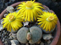 Lithops schwantesii ssp