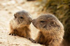 Marmotte by Clickalps .com, via 500px