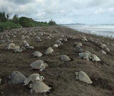 Land Turtles | Olive Ridley sea turtles on the beach. Credit: Roldan Valverde