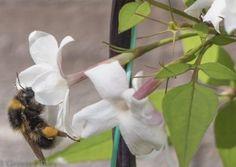 Garden Bumble bee (Bombus hortorum) on Jasmine flower from The Big Bee Page