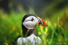 The teenager puffin, Farne Islands by Marina Cano