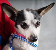 **MURDERED** Bindi is available for adoption at National Mill Dog Rescue. #adopt #dog #nmdr…