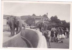 Blijdorp 1950 Olifanten