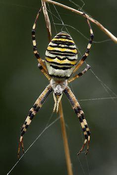 #Wasp #spider (Argiope bruennichi). Great defensive coloring to warn off predators.