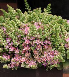 Sedum obtusifolium var. listoniae