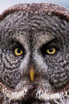 Close up of a Great Gray Owl Wall Art, Canvas Prints, Framed Prints, Wall Peels Beautiful Owl, Animals Beautiful, Bird Pictures, Animal Pictures, Owl Rocks, Strix Nebulosa, Owl Wall Art, Great Grey Owl, Gray Owl