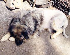 lion dog. napa farm. LMNOP