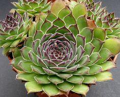Sempervivum cv. Melanie