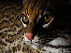 Beautiful Cat National Geographic wild animals wallpaper