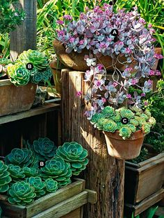 A large timber post serves as a tabletop for a spectacular flower dust plant displaying its splendid pink blooms. Several containers of echeveria accompany this flowering kalanchoe. One pot mounts to the post by means of a plant hook. The others rest on board benches.    A. Flower dust plant (Kalanchoe pumila) -- 1  B. Echeveria imbricata -- 5  C. Echeveria secunda -- 3