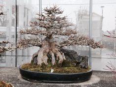 Naked Tridents - in all their glory - Bonsai Tree