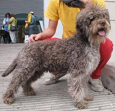 lagotto romagnolo / italian water dog