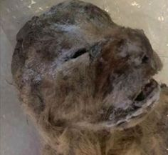 Two cubs at least 10,000 years old found over the summer in the permafrost of Yakutia, Russia, are the best-preserved cave lions ever unearthed.