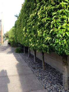 Pleached Portuguese laurel in Vancouver.
