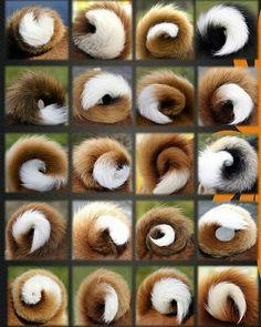 Basenji Tails
