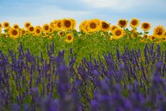Lavender and Sunflower Fields | Flickr - Photo Sharing!