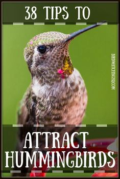 How To Attract Hummingbirds: 38 Simple Tips Guide!) - Bird Watching HQ - How To Attract Hummingbirds: 38 Simple Tips Guide! Hummingbird Nectar, Hummingbird Flowers, Hummingbird Garden, Hummingbird Mixture, How To Attract Hummingbirds, How To Attract Birds, Attracting Hummingbirds, Humming Bird Feeders, Humming Birds