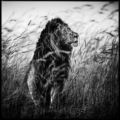 Photo Lion in the grass I - Laurent Baheux