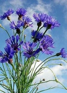 * * * * * * * * * * * * Exotic Flowers, Blue Flowers, Wild Flowers, Special Flowers, Wonderful Flowers, Wildwood Flower, Wildflower Drawing, Shabby Flowers, Garden Painting