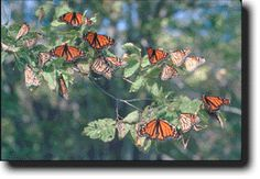 Monarch butterflies during migration at Point Pelee National Park, Ontario, Canada Pirate Activities, Essex County, Parks Canada, Monarch Butterfly, Vacation Destinations, Wonderful Places, Windsor, Ontario, Places To See